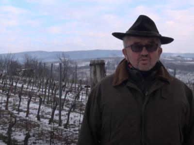 Ledena berba kutjevačkog vinogorja obećavajuća